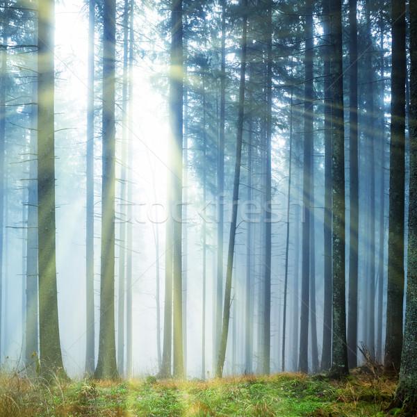 таинственный тумана зеленый лес соснового деревья Сток-фото © vapi