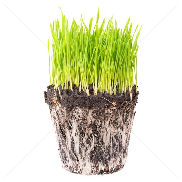 Hierba verde raíces suelo olla planta aislado Foto stock © vapi