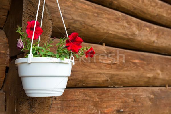 Red flower petunia in a white pot Stock photo © vapi