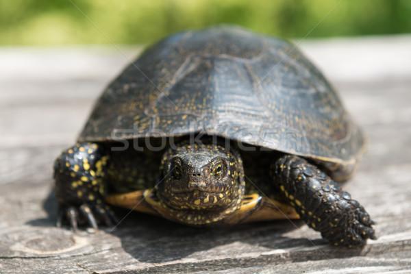 Big turtle on old wooden desk Stock photo © vapi