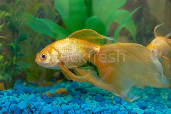 Tropical dourado peixe aquário olho cara Foto stock © vapi