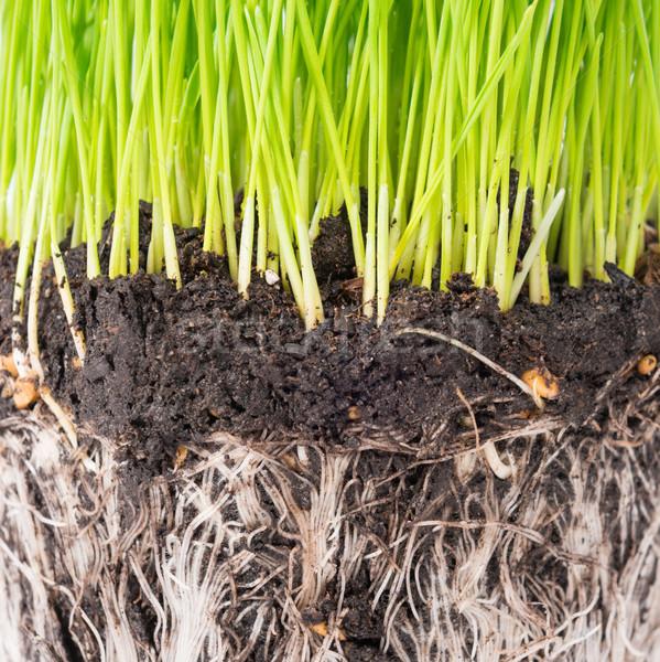 Zöld fű föld edény növény gyökerek izolált Stock fotó © vapi
