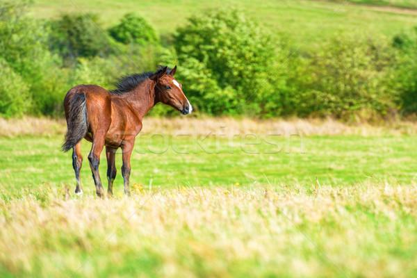 Stock fotó: Ló · zöld · mező · farm · fű · nap