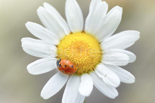 White daisy with ladybug Stock photo © vapi