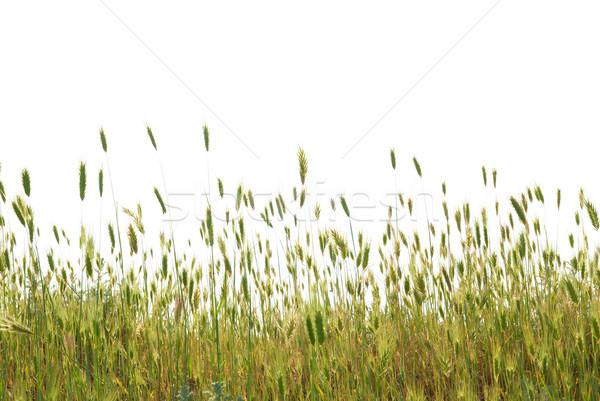 Green wheat Stock photo © vapi