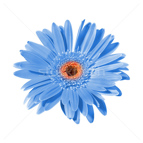 синий цветок изолированный белый цветок природы лет Сток-фото © vapi