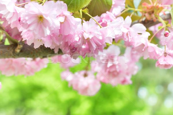 Pembe sakura çiçekler bahar ağaç çiçek Stok fotoğraf © vapi