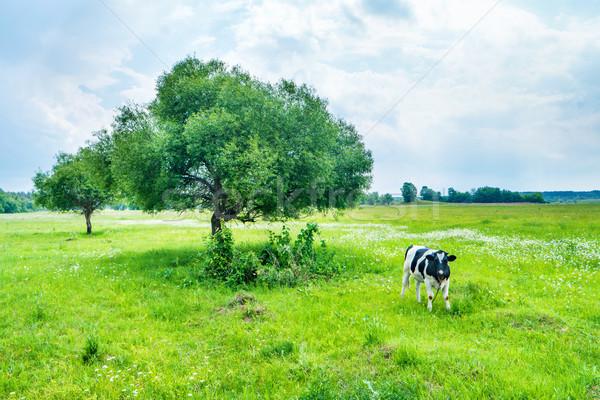 Preto vaca verde campo grande árvore Foto stock © vapi