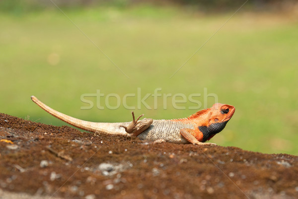 Orange-headed agama Stock photo © vapi