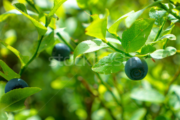 Wild blueberry in forest Stock photo © vapi