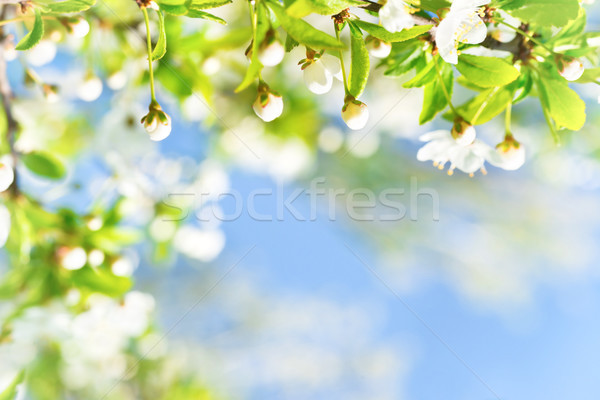 White flowers with buds on a blossom cherry tree Stock photo © vapi