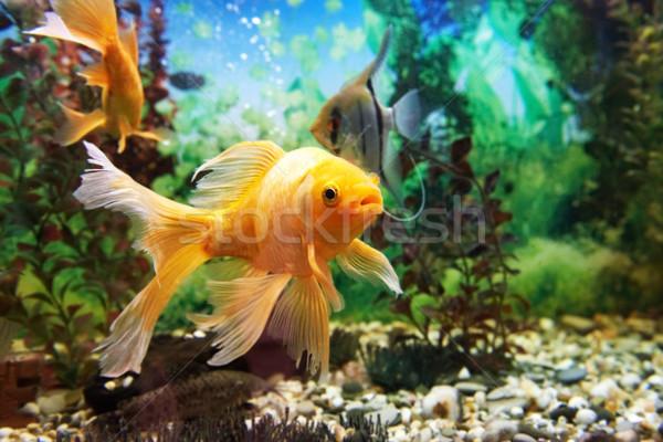 красочный аквариум тропические плаванию растений Сток-фото © vapi