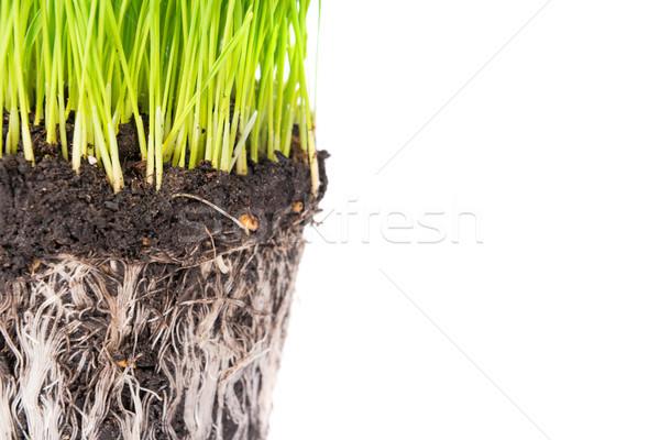 Zielona trawa gleby puli roślin korzenie odizolowany Zdjęcia stock © vapi