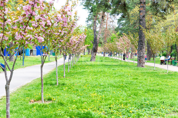 Blossom sakura cherry trees in a park Stock photo © vapi