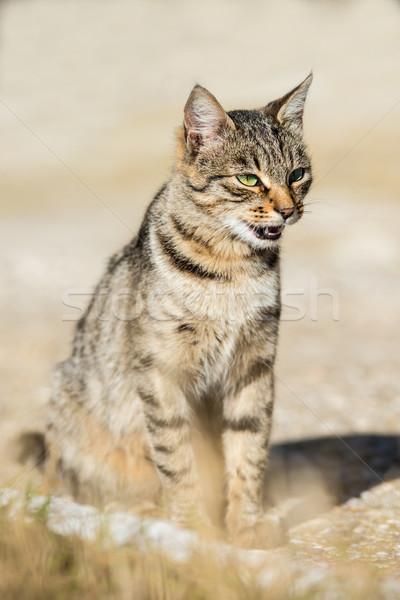 Gray striped cat with yellow eyes Stock photo © vapi