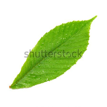 Verde molhado castanha folha isolado branco Foto stock © vapi