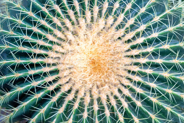 Big round golden barrel cactus Stock photo © vapi