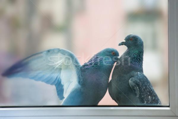 Couple of pigeons Stock photo © vapi