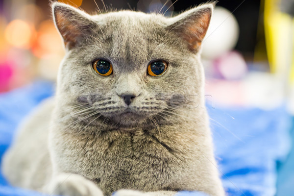 Stock fotó: Imádnivaló · szürke · macska · narancs · szemek · ül · néz