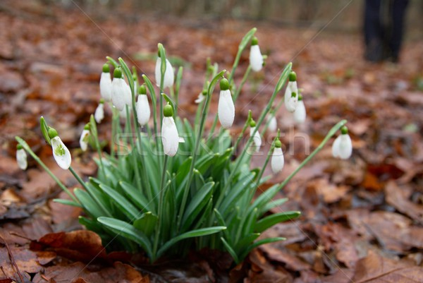 Tavaszi virágok fehér erdő puha fókusz tavasz Stock fotó © vapi