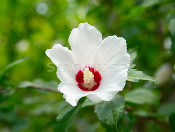 Fehér virág zöld virág fű nyár mező Stock fotó © vapi
