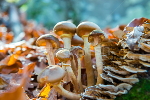 Group of mushrooms Stock photo © vapi