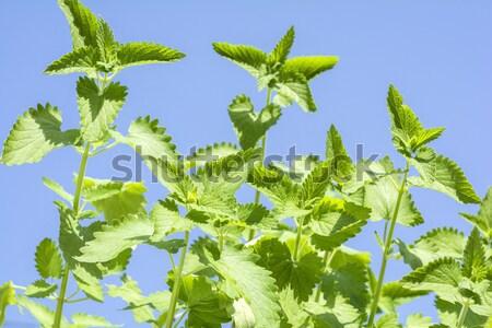 Alma menta növények kék ég égbolt természet Stock fotó © varts