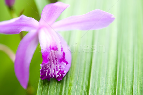 Purple orchid Stock photo © varts