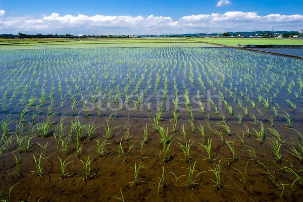 Rice seedlings Stock photo © varts