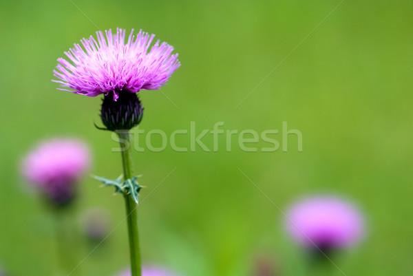 Thistle flower Stock photo © varts