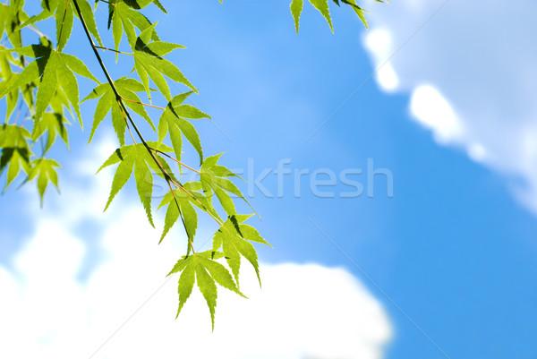 Leaves in the sky Stock photo © varts