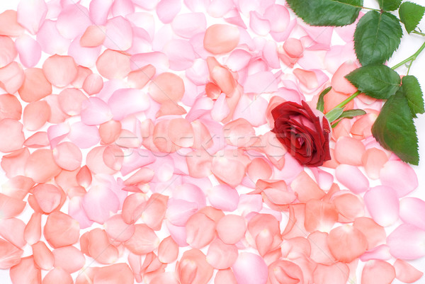 Rose flower and petals Stock photo © varts