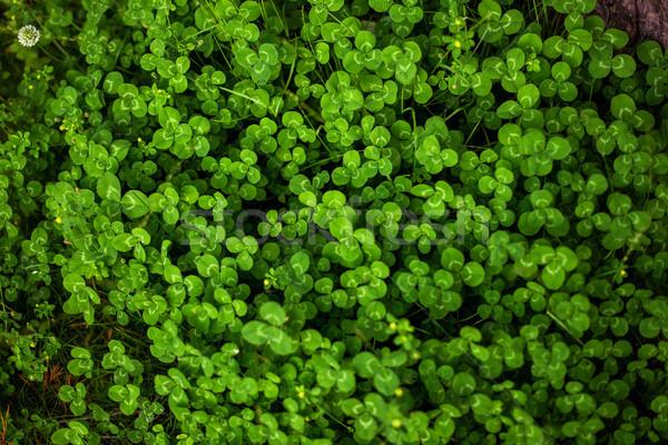Verde trevo folha textura árvore primavera Foto stock © vasilixa