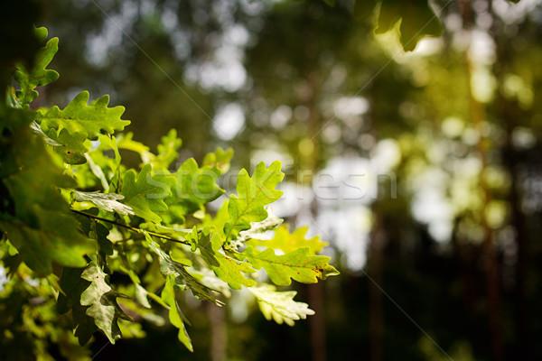 Textuur bladeren groene eiken boom voorjaar Stockfoto © vasilixa