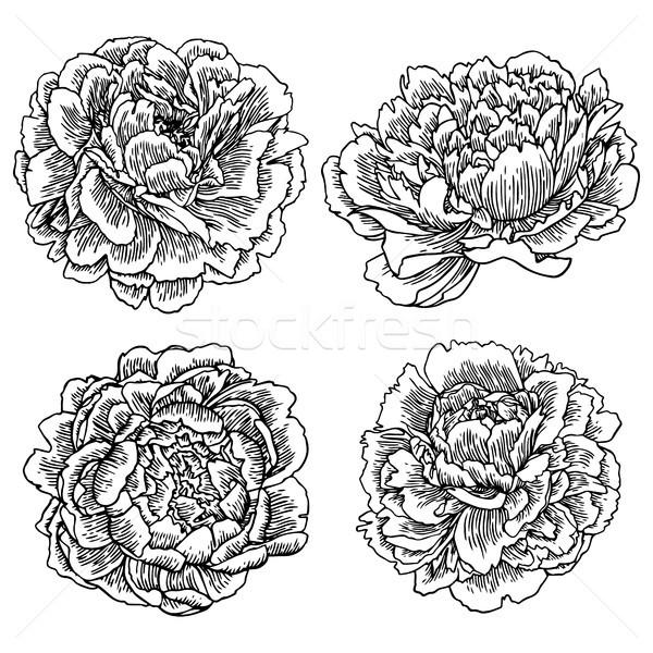 Vector hand drawn peonies silhouette set. Isolated flowers contour.  Stock photo © vasilixa