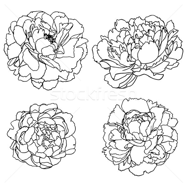 Vector set silhouettes of hand drawn peony flowers isolated Stock photo © vasilixa
