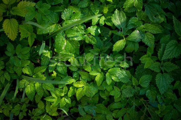 свежие зеленые листья растений лес природы текстуры Сток-фото © vasilixa