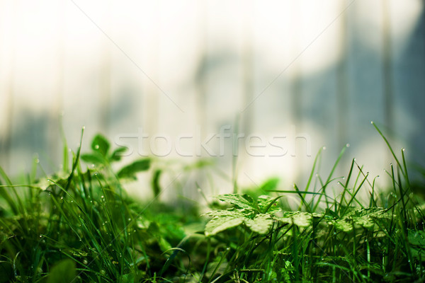 Verde impianti offuscata bianco recinzione mattina Foto d'archivio © vasilixa