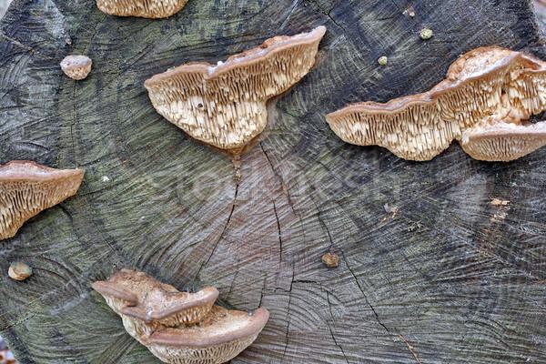 Wood mushrooms on a stub background Stock photo © vavlt