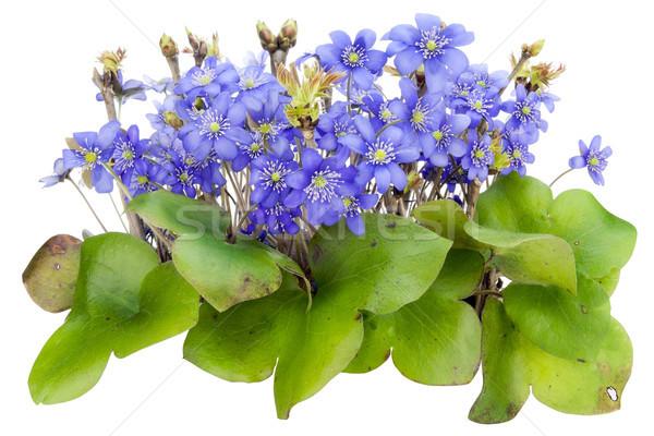 Bokor igazi első virágok izolált kék Stock fotó © vavlt