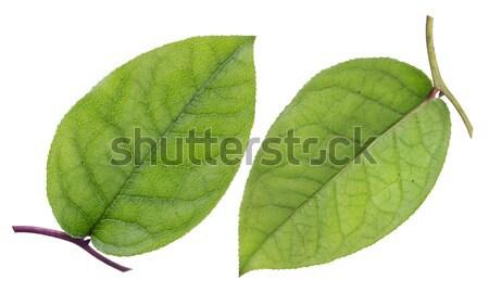 Green leaf, top and bottom Stock photo © vavlt