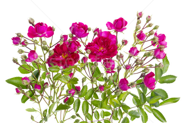 Pink buds floral isolated bush Stock photo © vavlt