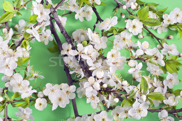 Blossoming wild plum Stock photo © vavlt