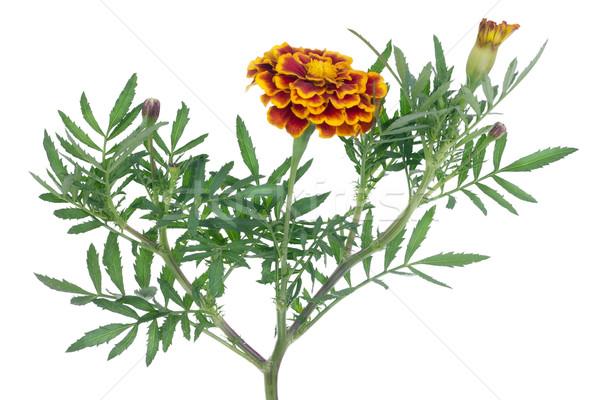 Yalnız yalıtılmış safran çiçek kullanılmış baharat Stok fotoğraf © vavlt