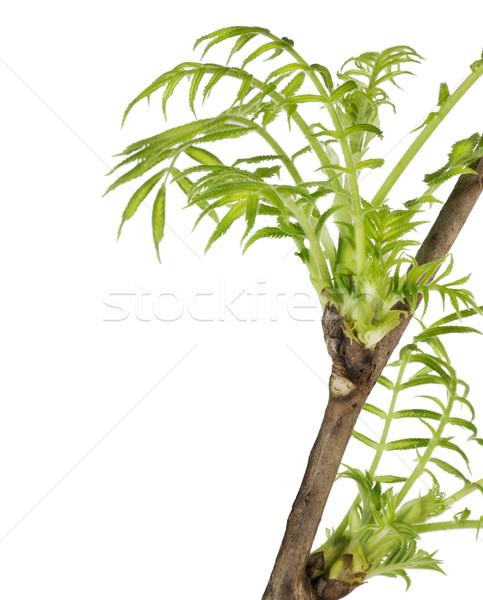 Első tavasz levelek képeslap gyengéd ágak Stock fotó © vavlt