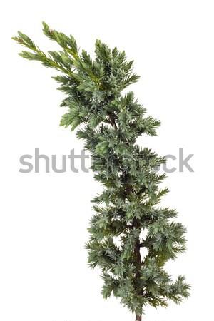 blue juniper  Stock photo © vavlt