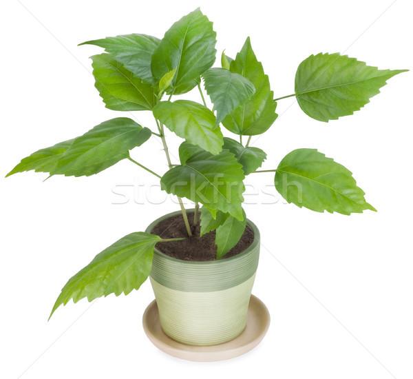 Jonge boom favoriet plant spruit groene Stockfoto © vavlt