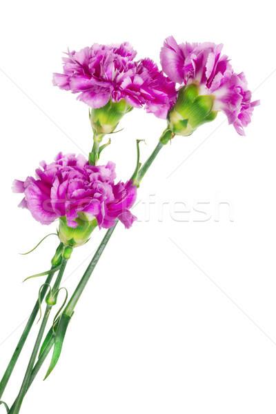 Tres solitario rosa clavel simple flores Foto stock © vavlt