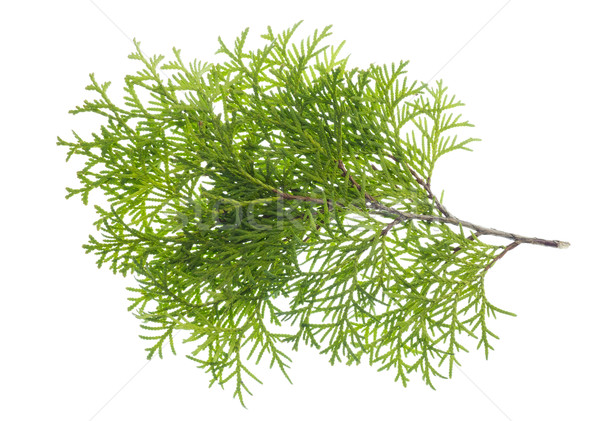 Isolated branch a thuja Stock photo © vavlt