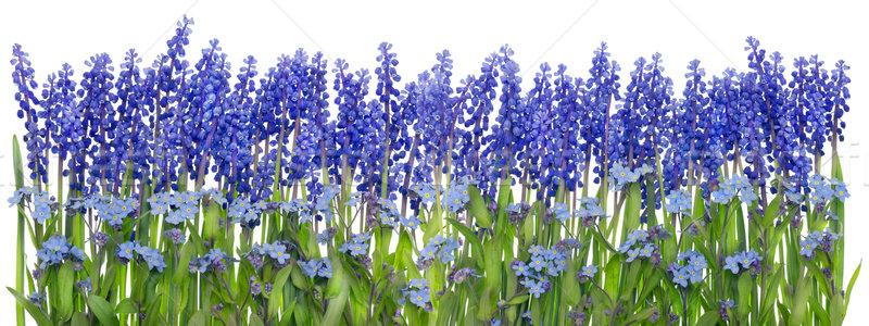 Nagy húsvét keret tavasz kék virágok Stock fotó © vavlt